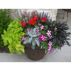 Spring planters~takes full sun and handles the heat really well.