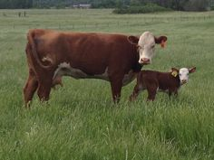 """""""CH Honey Girl"""" and her 3 day old bull calf Hereford Cattle, Black Canadians, Genetics Traits, Beef Cattle, Farm Life, Lima, Honey, Pure Products, History"""