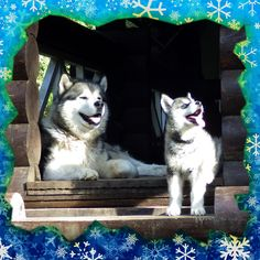 """Где встретить 2018 год желтой земляной собаки?  Представляем наших любимых собак по кличке Иней и Туман, именно они станут талисманами грядущего года по восточному календарю и надеемся принесут радость и удовольствие, благополучие и процветание как гостям так и персоналу гостиницы """"Урочище Сайкол"""".  Наступающий год будет наполнен свойствами характерными этому замечательному и милому существу. Желтый свет олицетворяет такие качества как мудрость и постоянство, а еще восточные мудрецы считали…"""