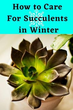 Here you will learn How to Care For Succulents in Winter and how to winterize succulents. Succulent Bowls, Succulent Care, Succulent Gardening, Planting Succulents, Gardening Tips, Succulent Landscaping, Propagating Succulents, Indoor Gardening, How To Water Succulents