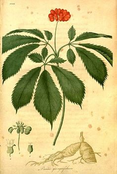"""http://www.yearstoyourhealth.com/ - American ginseng Panax_quinquefolius L., from """"American medical botany being a collection of the native medicinal plants of the United States, containing their botanical history and chemical analysis, and properties and uses in medicine, diet and the arts"""" by Jacob Bigelow,1786/7-1879. Publication in Boston by Cummings and Hilliard,1817-1820. Health"""