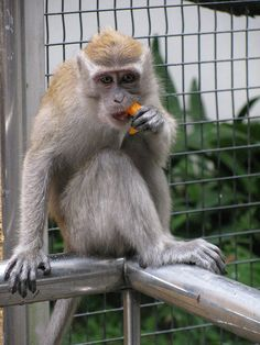 A picture of a wild monkey from when i visited the KL bird park for the time back in July I have seen these monkeys before jump the fence to get into the park and then eat some of the bird's fruit. Aggressive Animals, Lake Garden, Chimpanzee, Monkey Business, All Gods Creatures, Great Videos, Kuala Lumpur, Birds, Schmidt