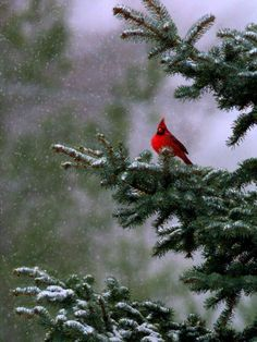 Cardinal ~ I tramped through the snow to our neighbors yard to capture a shot like this!