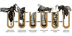 We tell here about the life cycle of a honey bee, you should know it, if you are raising bees for honey. In the winter, approximately a month and a half before the wintering of bees, the queen bee sta Beekeeping For Beginners, Cycling For Beginners, Honey Bee Life Cycle, Honey Bee Hives, Honey Bees, Raising Bees, Worker Bee, Insect Hotel, I Love Bees