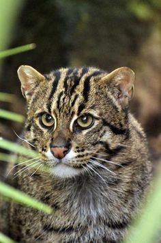 Fishing Cat | ... unusual members of the wild cat family on our Fishing Cat fact sheet