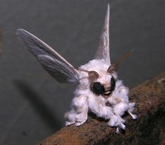 Venezuelan Poodle Moth! Like a little moth trying to dress up like a puppy! And yes, this is a real moth...as in Insect.
