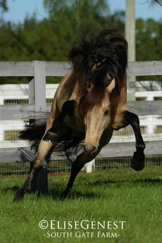 Buckskin Lusitano stallion Ubrique Interagro http://www.q-equestrian.com/horses_and_riders