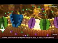 ▶ Cellular Respiration: Glycolysis, Krebs cycle, Electron Transport [3D Animation] - YouTube
