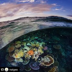 #Repost @natgeo  Photograph  by @daviddoubilet Opal Reef is a sunlit coral garden off Cairns on the #GreatBarrierReef. This iconic #coralreef is actually 3000 individual reefs stretching 1400 miles along Australia's Queensland coast. It is one of the seven wonders of the world and visible from space. I like this split image because it relates the surface to a hidden universe below. Overfishing climate change and development have contributed to a worldwide loss of 50% coral reef habitat. Get…