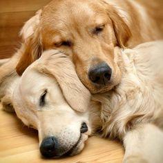 Golden retrievers: sleeping beauties