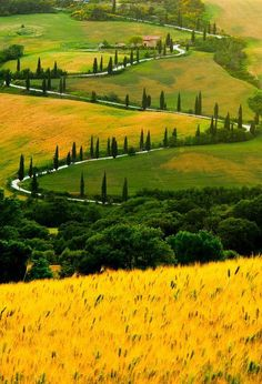 Ancient spiraling cypress trees line a long winding country road in Tuscany. Rising from a field of flowering mustard plants, shining like gold in the foreground, the road seems to go on forever.
