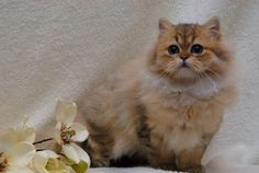Persian Kitten | Cat