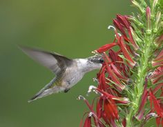 native missouri plant called the cardinal flower for hummingbirds.