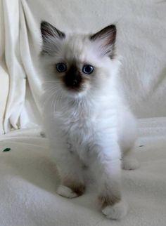 Yosemite, Savannah, Winona & Dakota [redux]  kitten