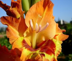 Gladiolus August Birth Flowers | Post your most Beautiful Capture of Week-38