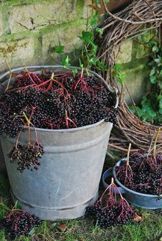 Elderberry: Nature's Secret To Good Health by Tiffany Corkern Elderberries for jam, wine, syrup. Country Life, Country Living, Fruits Decoration, Nature Secret, Down On The Farm, Elderflower, Farm Life, Vegetable Garden, Home Remedies