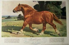 Boxted Confider - Suffolk Punch stallion painting by Wesley Dennis.