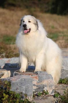 great pyrenees dog - Google Search