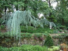 Traditional Landscape by Lee's Oriental Landscape Art weeping blue atlas cedar (Cedrus atlantica 'Glauca Pendula', zones 6 to 9)