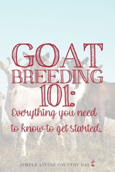 How to breed your dairy goat. How to breed goats. How to get started with goats. Goat breeding guide. Getting started breeding goats. Backyard goats 101. goat breeding 101 everything you need to know to get started. #dairygoats #breedinggoats #goats Breeding Goats, Backyard Layout, Raising Goats, Farm Projects, Goat Farming, Urban Homesteading, Backyard Farming, Hobby Farms