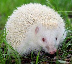 Albino-Igel - Famous Last Words Amazing Animals, Animals Beautiful, Funny Animal Pictures, Funny Animals, Albino Hedgehog, Rare Albino Animals, Melanism, Photo Animaliere, Tier Fotos