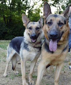 Bonded Pair - German Shepherd Dog • Adult • Male • Large - German Shepherd Rescue Indy Indianapolis, IN  In June 2013, I rescued two German Shepherds that are incredibly bonded. They were found as strays and apprehended by use of a tranquilizer gun. Von Hektor and Evie were feral but have become much more trusting of humans and enjoy affection. They are still very skittish but have increasingly began to approach strangers. They CANNOT be separated and their new home...