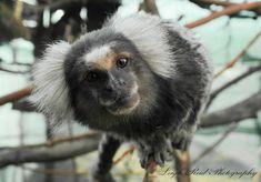 Primates: The Fearless Science of Jane Goodall, Dian Fossey, and Biruté Galdikas Marmoset Monkey, Dian Fossey, Jane Goodall, Orangutan, Primates, South Africa, Wildlife, Link, Animals