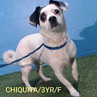 Spring Hill Florida Rat Terrier Meet Chiquita A For Adoption