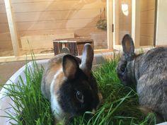 Kaninchen Graswanne