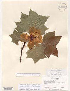 Liriodendron_tulipifera,Resources for Botanical Sketchbooks, , Resources for Art Students at CAPI::: Create Art Portfolio Ideas milliande.com, Art School Portfolio Work, , Botanical, Flowers, Plants, Leaves,Stem Seed, Sketching, Herbarium
