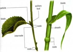Stem showing internode and nodes plus leaf petioles for What are internodes