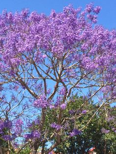 Jacaranda tree from Costa Rica Blooming Trees, Flowering Trees, Beautiful World, Beautiful Places, Beautiful Pictures, Costa Rica, Fruit Bearing Trees, Beautiful Flowers Garden, Central America
