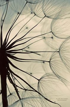 puffball summer dandelion PRINT ONLY macro photography home decor