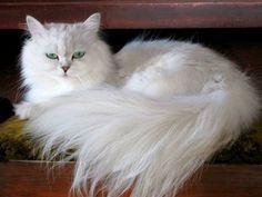 Кошка шиншилла (фото): это не порода, это изящная серебряная дымка в окрасе