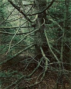 Spruce Tree with Lower Dead Branches, Great Spruce Head Island, Maine, July 14, 1963, Eliot Porter