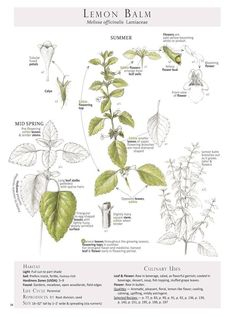 Lemon Balm (Melissa officinalis)   Lemon Balm Plant Identification page from our book Foraging & Feasting: A Field Guide and Wild Food Cookbook  by Dina Falconi; illustrated by Wendy Hollender.