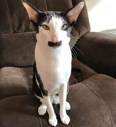 Instagram photo by hobbikats - Stache can go for hours just sitting there staring at me. He's all business most of the time too. #hobbikats #stache #moustache #catsofinstagram #bestmeow #cat #gato #neko #kawaii #mustlovecats #lol #funny #kiss #boop #adorable #instacat #petsofinstagram #pet #bicolor #orientalcat #orientalcatsworld