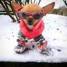 I know I'm cool... #chihuahua
