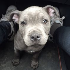 Rico (KC: Silver Bluestaff) my full blue Staffordshire bull terrier at 3 months old.