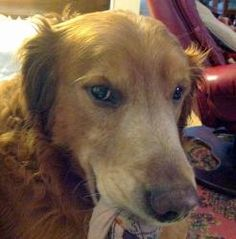 This is Cyrus - 7 yrs. He is an owner surrender. He is neutered, current on vaccinations, potty trained, has good house manners, rides well in a car & walks well on leash. He gets along with other dogs and kids. Cyrus has a good energy level and is looking for a forever home. He is at Sunshine Golden Retriever Rescue, CT.