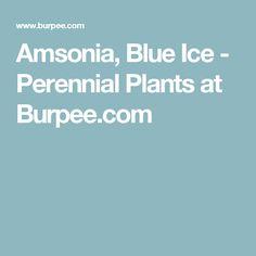 Amsonia, Blue Ice  - Perennial Plants at Burpee.com