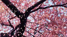 Sakura tree, pink flowers, blue sky