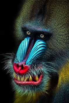 Africa |  Mandrill | © Natalie Manuel.     found in southern Cameroon, Gabon, Equatorial Guinea, and Congo. Mandrills mostly live in tropical rainforests and forest-savanna mosaics