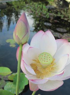 Kauai lotus
