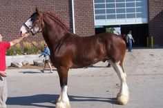 Clydesdale - stallion Pinnacle's Nihilater Extreme