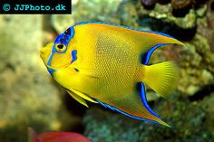 Q = Queen Angelfish