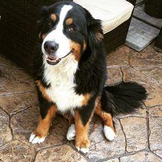 Buba ❤️ Bernese mountain dog #piesiu #doggie #bestfriend
