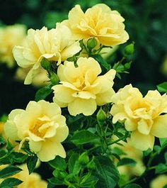 Yellow Carpet Rose
