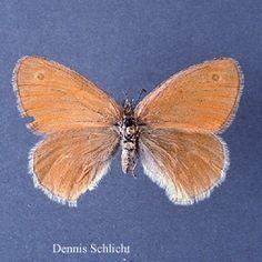 Coenonympha tullia (Dennis Schlicht)
