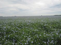 cool Unlocking Flax's Yield Potential — Can Yields be Increased by 30 Percent in the Next 6 Years?